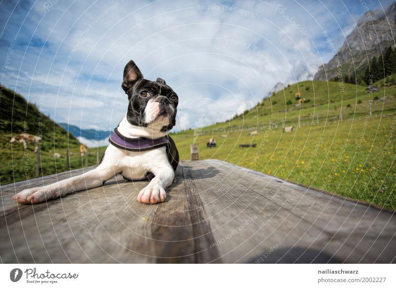 Boston Terrier auf dem Hundesportplatz Natur Ferien & Urlaub & Reisen Sommer schön Landschaft Erholung Tier Umwelt Wiese natürlich Spielen Freundschaft