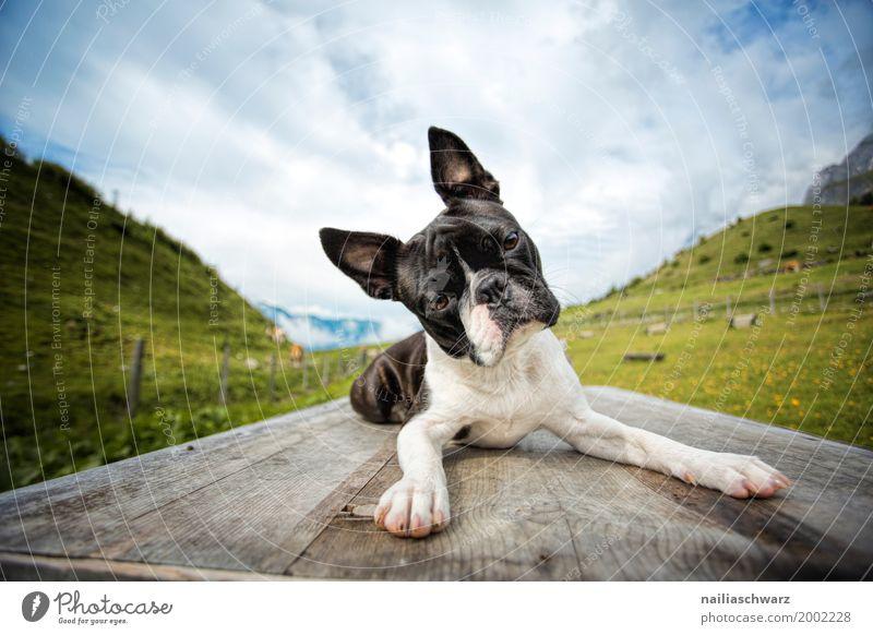 Boston Terrier auf der Reise Natur Ferien & Urlaub & Reisen Hund Sommer Landschaft Erholung Tier Berge u. Gebirge Umwelt Frühling Idylle Europa Fröhlichkeit
