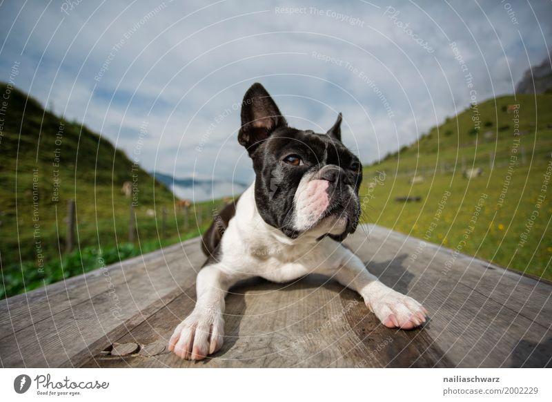 Boston Terrier auf dem Trainingsplatz Ferien & Urlaub & Reisen Hund Sommer Landschaft Erholung Tier Berge u. Gebirge natürlich Gras Glück liegen Idylle