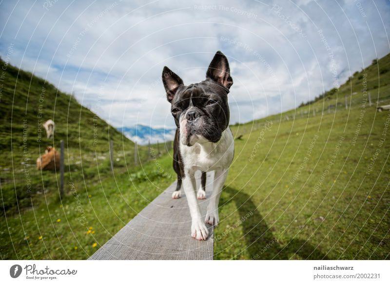 Boston Terrier Natur Hund Ferien & Urlaub & Reisen Sommer Landschaft Erholung Tier Berge u. Gebirge Wiese Feld stehen Europa Fröhlichkeit Schönes Wetter beobachten niedlich