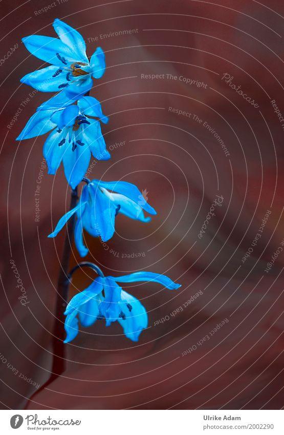 Blausterne (Scilla) elegant Design einrichten Dekoration & Verzierung Tapete Bild Fotografie Postkarte Muttertag Ostern Natur Pflanze Sonne Frühling Blume Blüte