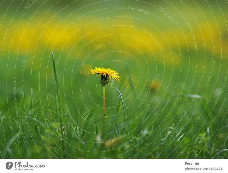 Löwenzahn Umwelt Natur Landschaft Pflanze Frühling Sommer Klima Wetter Schönes Wetter Wärme Blume Gras Blüte Garten Park Wiese hell gelb grün Löwenzahnfeld
