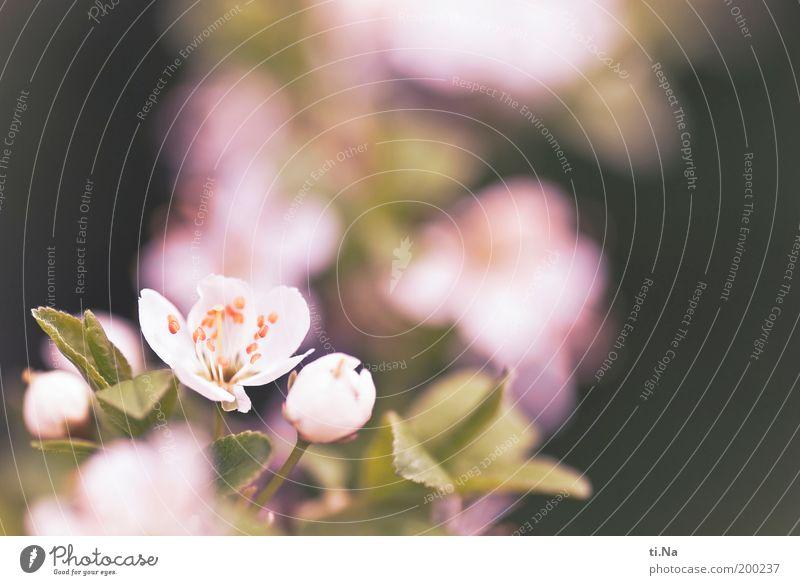 Schlehenblüten Natur Baum Pflanze ruhig Leben Blüte Garten Park Zufriedenheit Gesundheit rosa Umwelt Wachstum Sträucher Blühend Duft