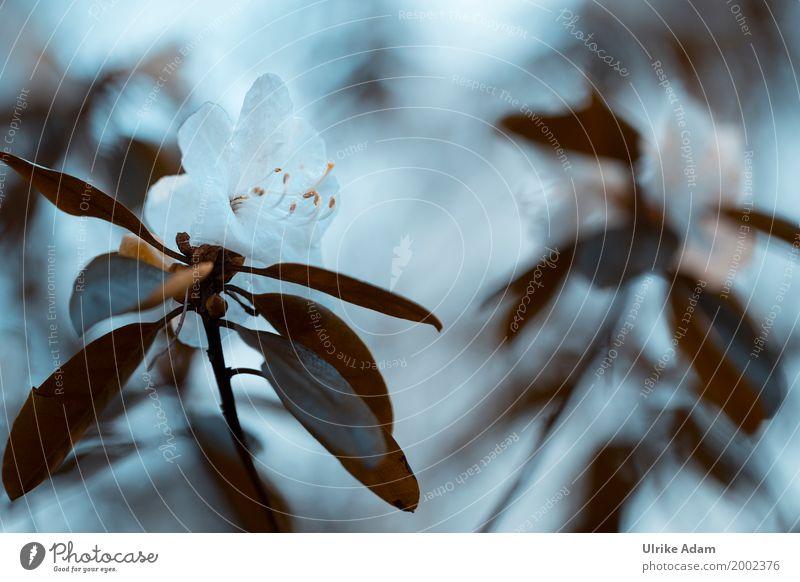Weiße Azalee elegant Design Dekoration & Verzierung Tapete Bild Postkarte Ostern Natur Pflanze Frühling Blume Blatt Blüte exotisch Rhododendron Garten Park