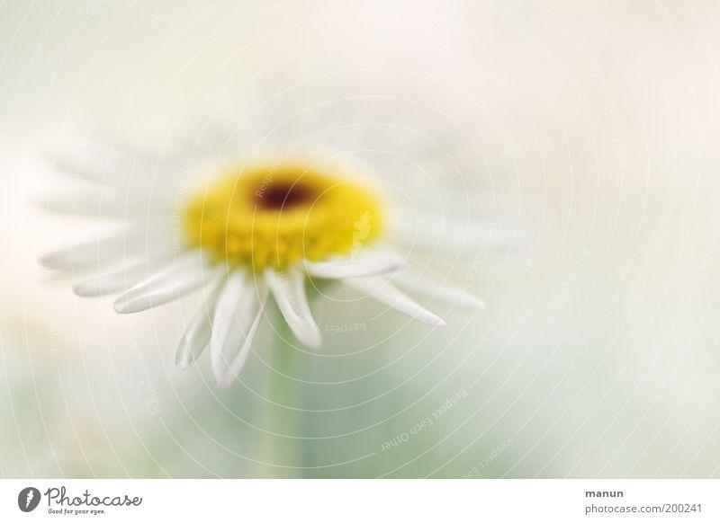 Margerite Natur weiß Sommer ruhig gelb Blüte Frühling Zufriedenheit Feste & Feiern elegant ästhetisch Blume Duft harmonisch Wohlgefühl
