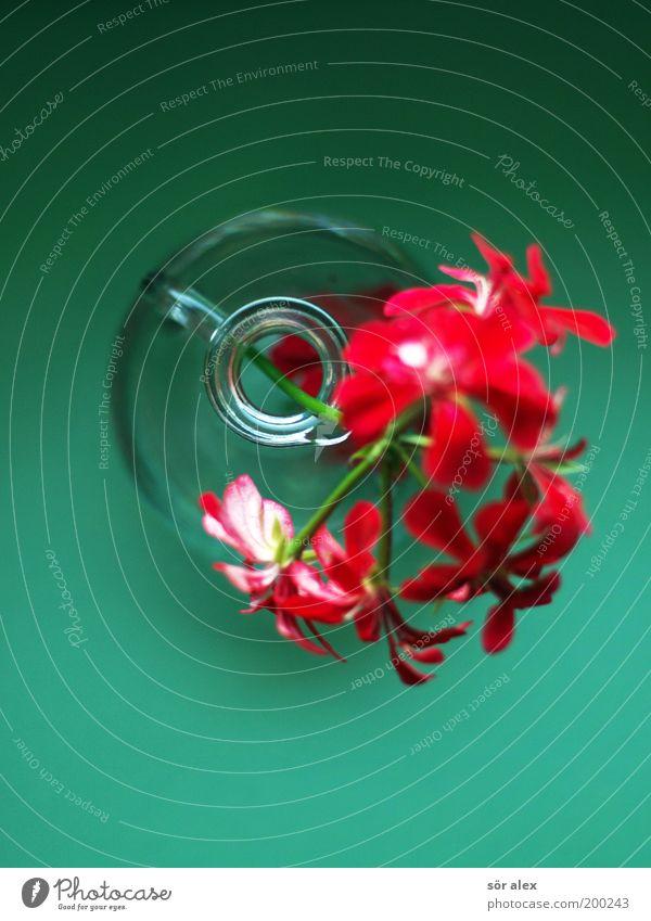 Geranie Pflanze Blume Blüte Pelargonie Vase Griff Kannen Glas Blühend Duft schön Kitsch natürlich grün rot Gefühle Fröhlichkeit Frühlingsgefühle Farbe
