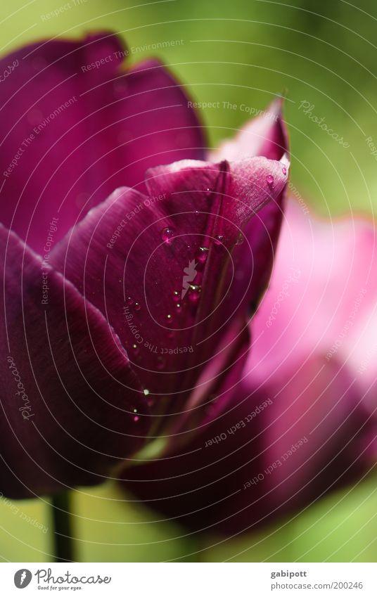 mal Farbe in den grauen Alltag bring Garten Natur Pflanze Blume Tulpe Blüte Park violett Fröhlichkeit Lebensfreude Treue ruhig Duft Leidenschaft Optimismus rein
