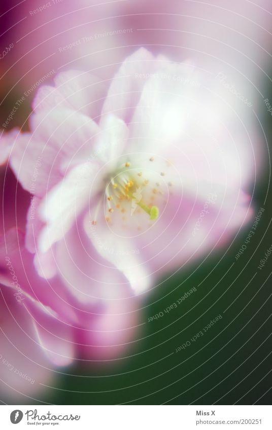 das letzte Kirschblütenfoto Garten Natur Frühling Pflanze Baum Blume Blüte Park Blühend schön rosa Stimmung Kirsche Stempel Pollen Farbfoto mehrfarbig