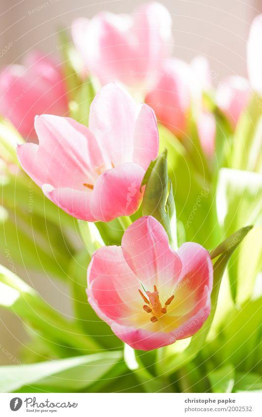 Frühlingsboten II schön Blume Blatt Blüte Blühend Blumenstrauß Tulpe Grünpflanze