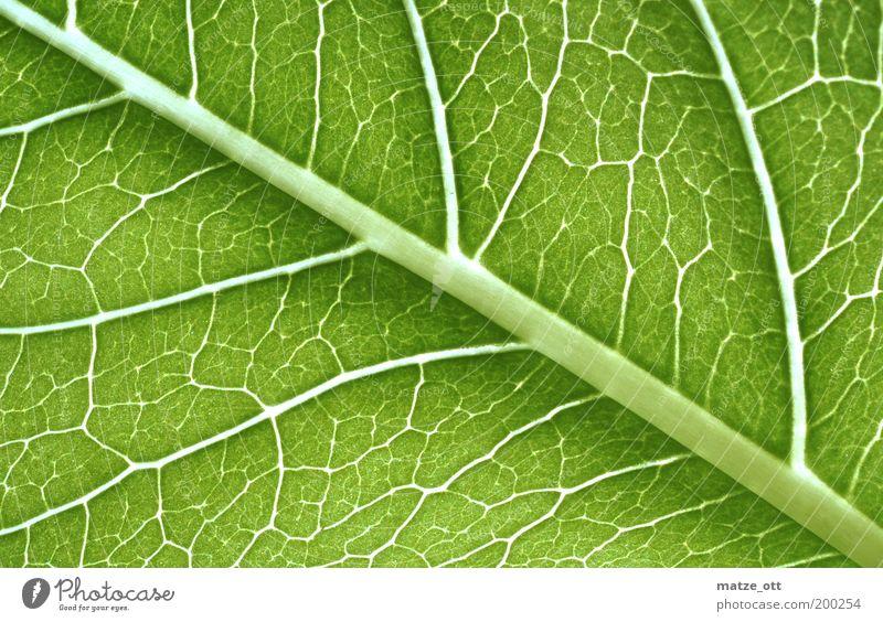 Grünzeugs unter der Lupe Natur grün Pflanze Blatt Umwelt Leitung Gefäße Grünpflanze Biologie biologisch Photosynthese Wissenschaften Muster Cellulose