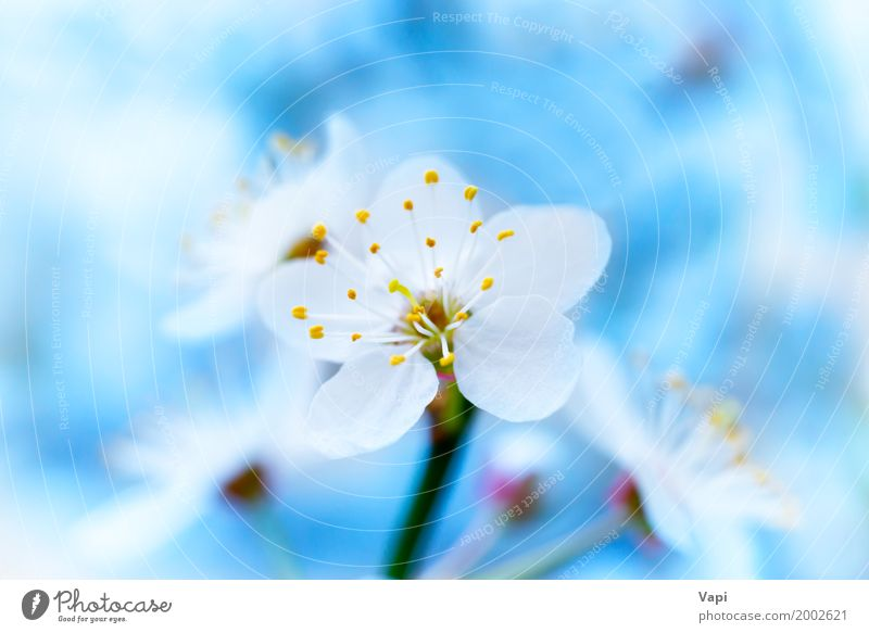 Blühende weiße Frühlingsblumen des Frühlinges schön Leben Garten Umwelt Natur Pflanze Himmel Sonnenlicht Baum Blume Blüte frisch natürlich neu weich blau gelb