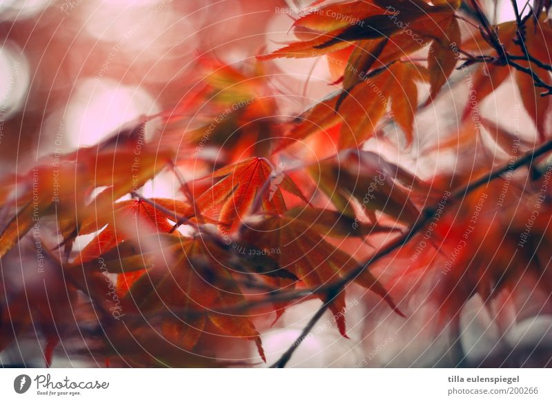 red Natur schön Baum rot Farbe Blatt Umwelt Herbst Frühling Park Stimmung orange wild natürlich Idylle Vergänglichkeit