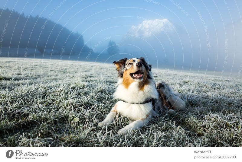 Australian Shepherd im Raureif Umwelt Natur Landschaft Gras Berge u. Gebirge Gipfel Schneebedeckte Gipfel Tier Haustier Hund 1 Freizeit & Hobby Freude