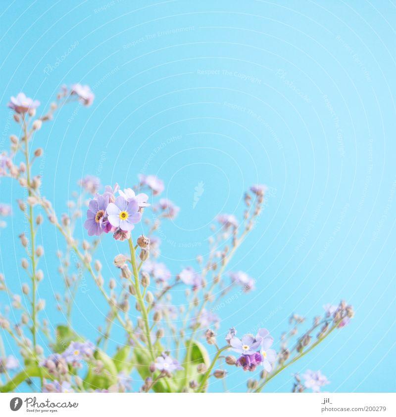 VERGISSMEINNICHT schön Himmel Blume grün blau Pflanze Blüte Frühling träumen hell klein frisch ästhetisch nah authentisch violett
