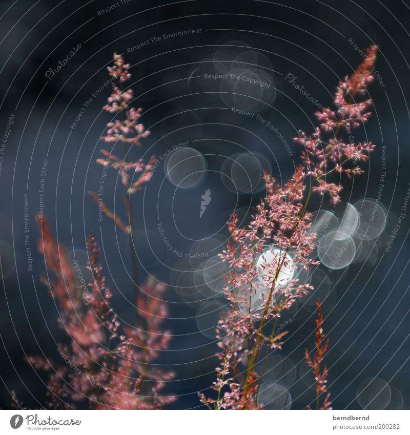 schweden Sommer Sonne Natur Pflanze Schönes Wetter Blume Gras Küste natürlich blau rosa Stimmung Klima rein Umwelt typisch Anschnitt Lichtspiel Wasser Farbfoto