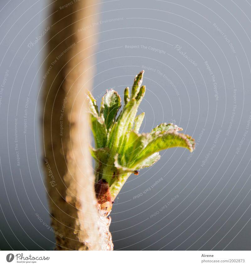 Aufbruch Natur Pflanze grün Baum Blatt Frühling natürlich hell Wachstum frisch Sträucher Beginn Lebensfreude Ast Vorfreude positiv