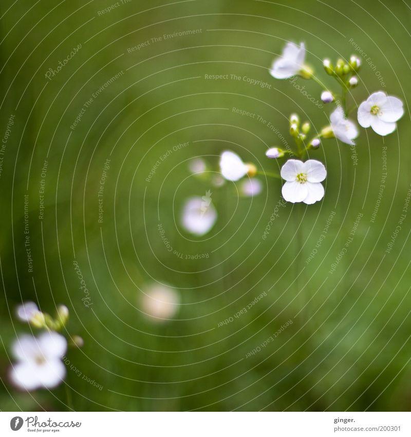 Wer bin ich? Natur grün weiß Pflanze Blume Umwelt Wiese Gras Frühling klein Blüte Wachstum Blühend zart Blütenknospen Blütenblatt