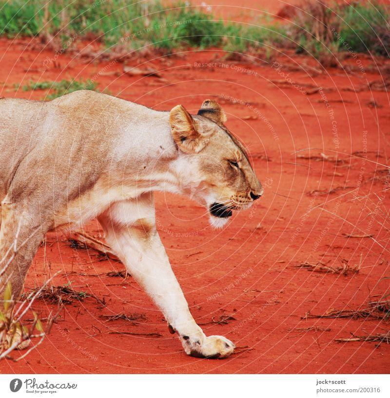 Löwe Dame Safari Erde Gras exotisch Savanne Kenia Afrika Wildtier 1 gehen rot Gelassenheit Bewegung Fell Pfote Gangart lässig tropisch Momentaufnahme