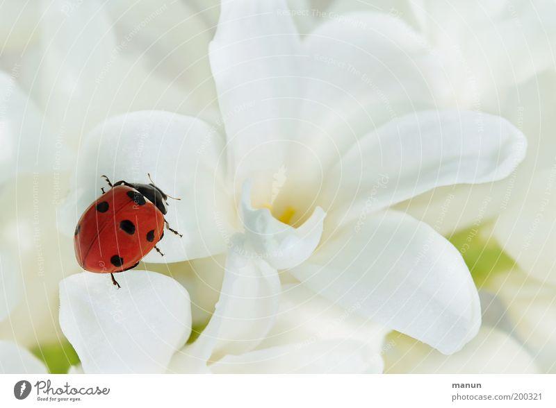 Kontrastprogramm Valentinstag Muttertag Taufe Natur Frühling Sommer Blume Marienkäfer Zeichen Glücksbringer elegant Fröhlichkeit positiv rot weiß Gefühle