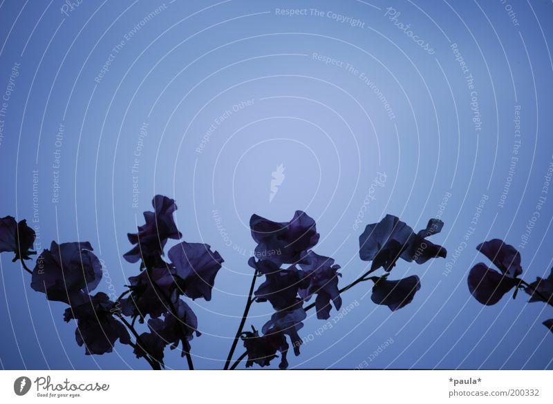 Blaue Blumen Luft Pflanze Blüte Dekoration & Verzierung Blühend träumen Traurigkeit verblüht ästhetisch dunkel elegant kalt schön weich blau schwarz ruhig