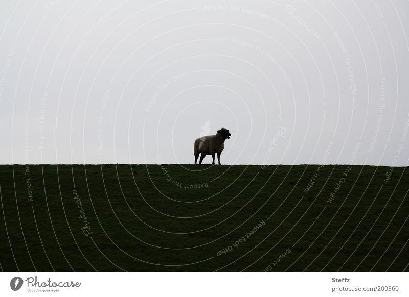 Mäh Natur Landschaft Einsamkeit ruhig Tier dunkel Umwelt Wiese natürlich grau Stimmung Horizont stehen einfach beobachten Langeweile