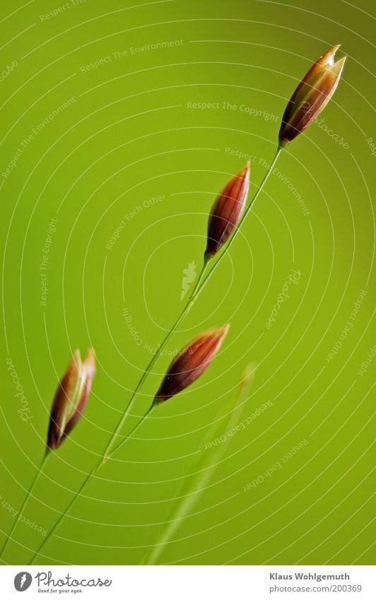 Filigran 3 Natur grün Pflanze Gras braun Wachstum dünn Grünpflanze Wildpflanze