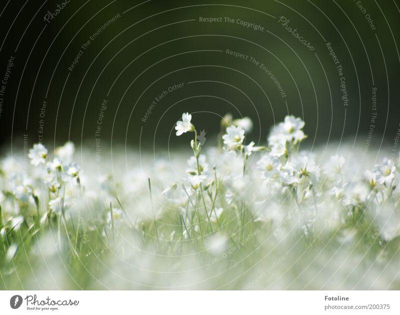 Traum in weiß Umwelt Natur Landschaft Pflanze Frühling Klima Wetter Schönes Wetter Blume Blüte Garten Park Wiese hell Farbfoto mehrfarbig Außenaufnahme