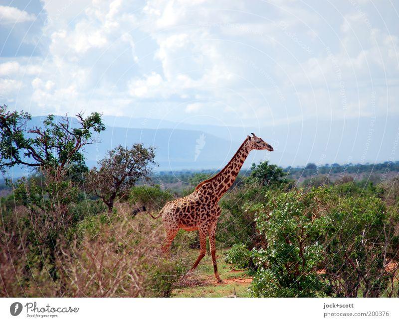 große Giraffe läuft aus Himmel Landschaft Wolken Tier Ferne Berge u. Gebirge Wärme Leben Freiheit gehen Horizont Wildtier authentisch Sträucher laufen groß