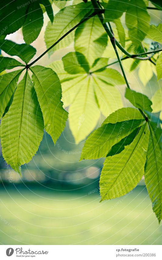 Kastanienblätter Natur grün Baum Pflanze Blatt Gefühle Frühling Garten Park natürlich Wachstum frisch Schönes Wetter Lebensfreude Freude Frucht