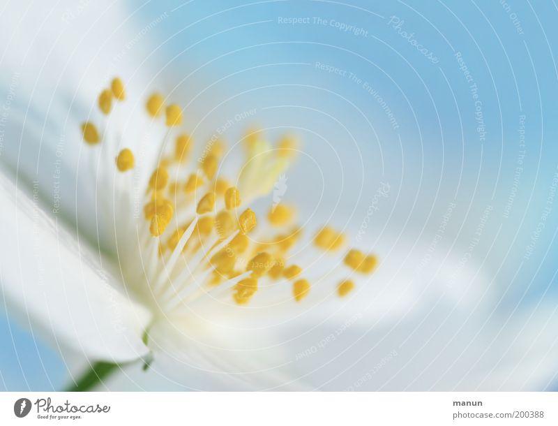 heiter bis wolkig Natur schön weiß Blume Sommer Blüte Frühling hell elegant frisch ästhetisch Wachstum Duft harmonisch Staubfäden blau