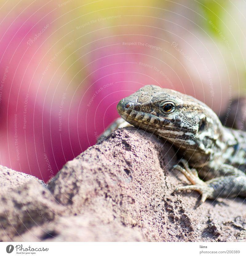 wärmesucher Urelemente Felsen Tiergesicht Echte Eidechsen 1 liegen Sonnenbad Tierporträt Urzeit Wärme Farbfoto Außenaufnahme Nahaufnahme Detailaufnahme