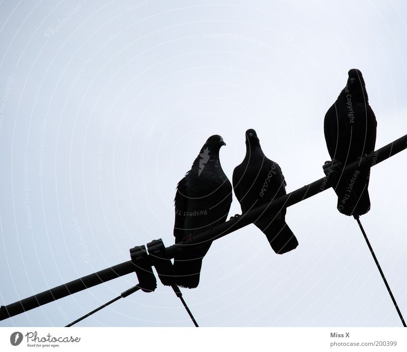 drei schwarze Tauben Himmel Tier Wildtier sitzen Seil Tiergruppe Flügel Taube aufgereiht Vogel nebeneinander Gurren