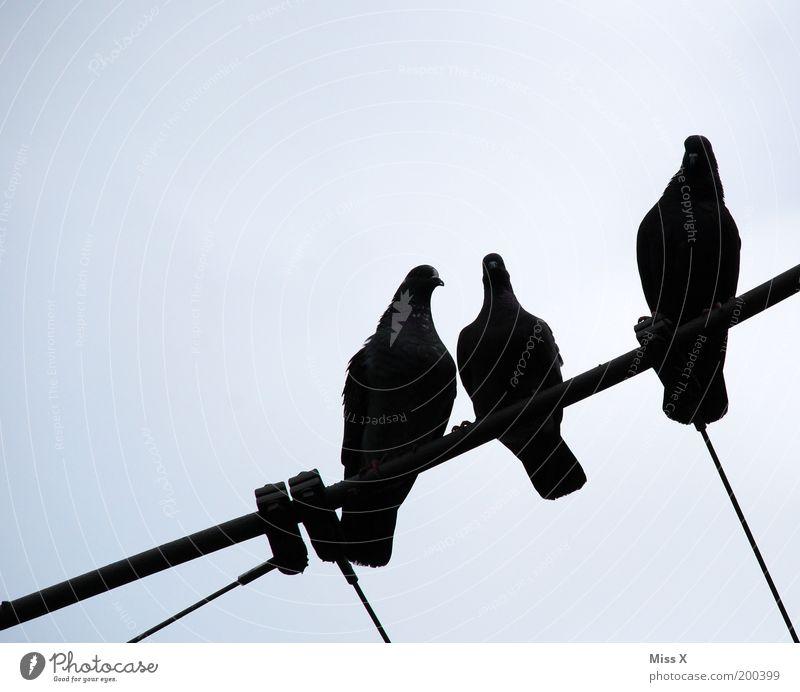 drei schwarze Tauben Himmel Tier Wildtier sitzen Seil Tiergruppe Flügel aufgereiht Vogel nebeneinander Gurren