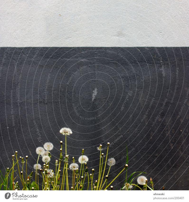 Urban Nature Umwelt Pflanze Frühling Blume Blüte Wildpflanze Löwenzahn Haus Mauer Wand Fassade Optimismus Kraft Willensstärke Leben Lebensfreude Gedeckte Farben