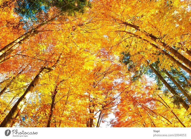 In den Wald fallen Himmel Natur Pflanze Farbe schön grün weiß Sonne Baum Landschaft rot Blatt Umwelt gelb Herbst