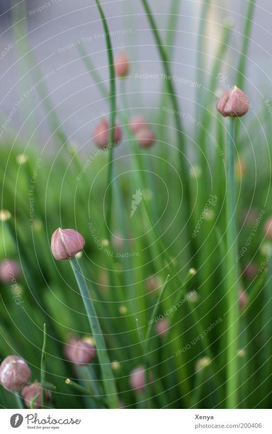 Schnittlauch Kräuter & Gewürze Vegetarische Ernährung Natur Pflanze Nutzpflanze Garten Blühend grün violett Frühling Kräutergarten Farbfoto Nahaufnahme Tag