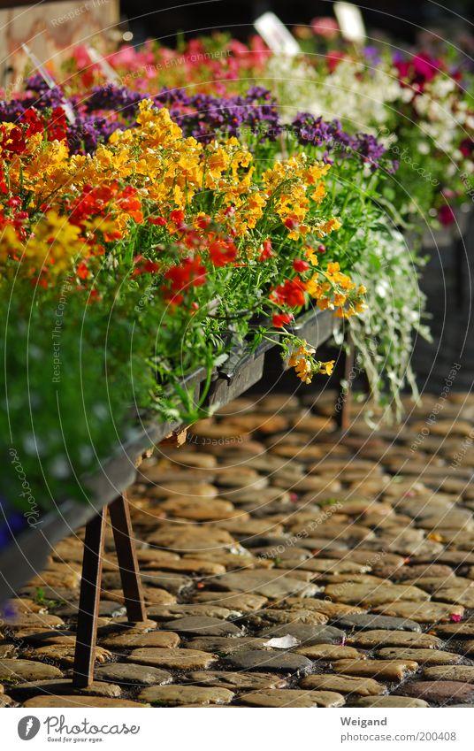 Der Freiburger Markt ist der schönste im Land! Blume grün rot gelb braun Feste & Feiern frisch violett Freundlichkeit Kopfsteinpflaster Ladengeschäft strahlend