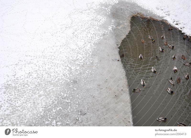 Stock- und Steifenten Wasser weiß Winter Tier kalt Schnee grau Eis warten Wetter Hoffnung Frost Kommunizieren Fluss Tiergruppe