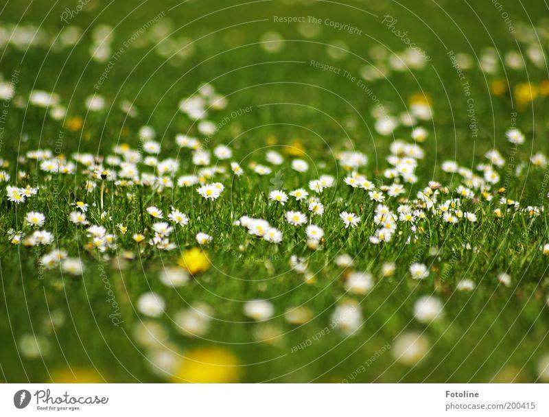 Gänseblümchen Umwelt Natur Landschaft Pflanze Urelemente Erde Frühling Sommer Klima Wetter Schönes Wetter Wärme Blume Blüte Garten Park Wiese hell natürlich