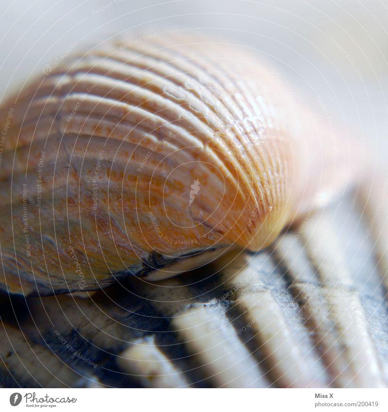 Muscheln Natur Küste Meer Tier Aquarium Muschelschale Furche Farbfoto Gedeckte Farben Außenaufnahme Nahaufnahme Detailaufnahme Makroaufnahme Strukturen & Formen