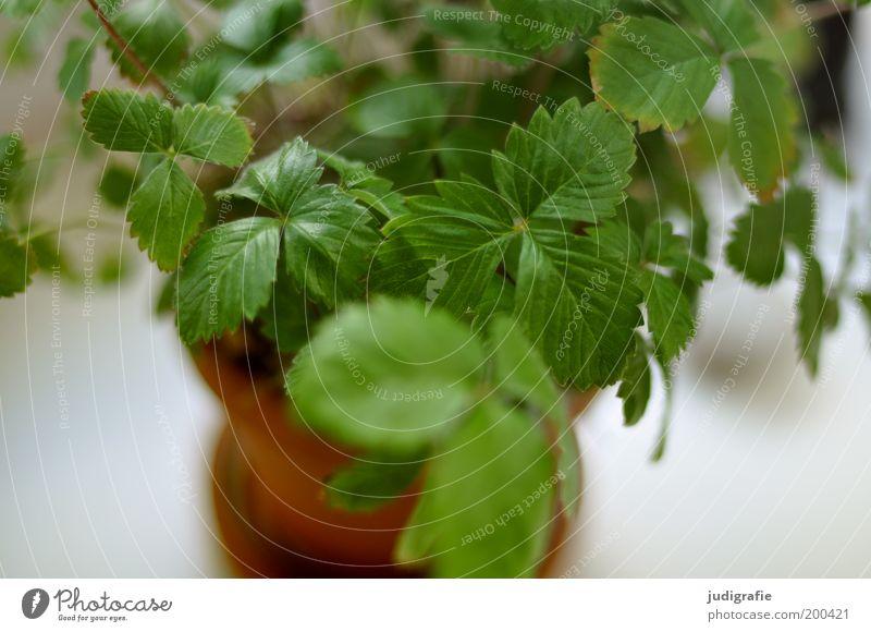 Erdbeere auf Fensterbank Häusliches Leben Pflanze Blatt Grünpflanze Nutzpflanze Wachstum frisch grün Blumentopf züchten Erdbeeren Farbfoto Innenaufnahme Tag