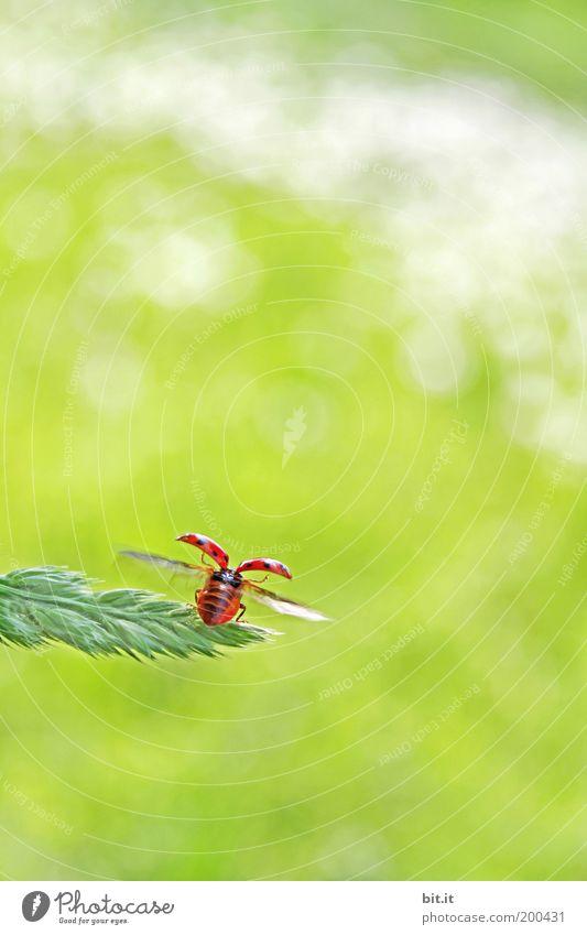 UND TSCHÜSS Glück Sommer Umwelt Natur Tier Gras Wiese Käfer niedlich grün rot Optimismus Marienkäfer fliegen Glücksbringer Symbole & Metaphern Hoffnung Abheben