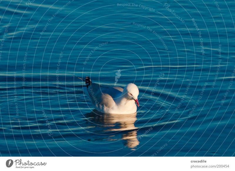 New Zealand XXXX Umwelt Natur Wasser Schönes Wetter Küste Meer Tier Wildtier Vogel Flügel Möwe 1 Zufriedenheit Lebensfreude ästhetisch Außenaufnahme Nahaufnahme