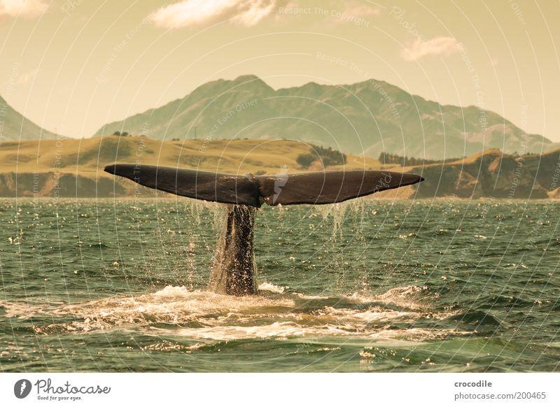 New Zealand 46 Umwelt Natur Landschaft Wolken Schönes Wetter Berge u. Gebirge Gipfel Wellen Küste Bucht Meer Wildtier Pottwal Wal 1 Tier tauchen außergewöhnlich