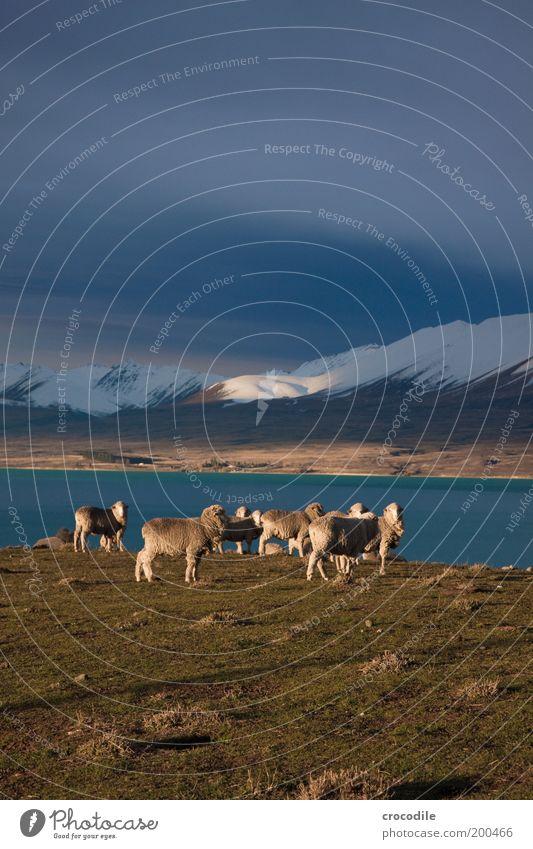 New Zealand 47 Natur Tier Schnee Wiese Gras Berge u. Gebirge Frühling Landschaft Eis Umwelt Horizont Felsen Erde ästhetisch Frost Tiergruppe