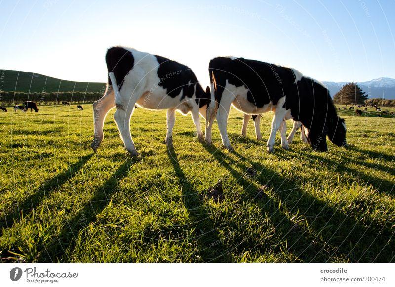 New Zealand 52 Natur Pflanze Tier Leben Wiese Gras Landschaft Zufriedenheit Umwelt stehen Hügel Kuh Weide Schönes Wetter Fressen Landwirtschaft