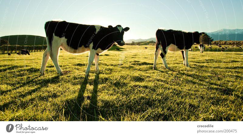 New Zealand 53 Natur Wiese Gras Landschaft Zufriedenheit stehen Kuh Weide Fressen Grasland Herde Nutztier Rind Viehzucht Viehhaltung Kuhherde