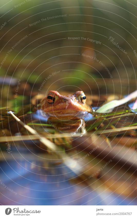 kröte Wasser Schönes Wetter Teich Tier Wildtier Frosch 1 Schwimmen & Baden nass natürlich Natur Kröte Farbfoto Außenaufnahme Nahaufnahme Menschenleer