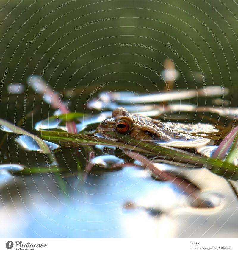 kein frosch Wasser Frühling Schönes Wetter Gras Teich Tier Wildtier Frosch 1 Schwimmen & Baden nass natürlich Natur Kröte Farbfoto mehrfarbig Außenaufnahme