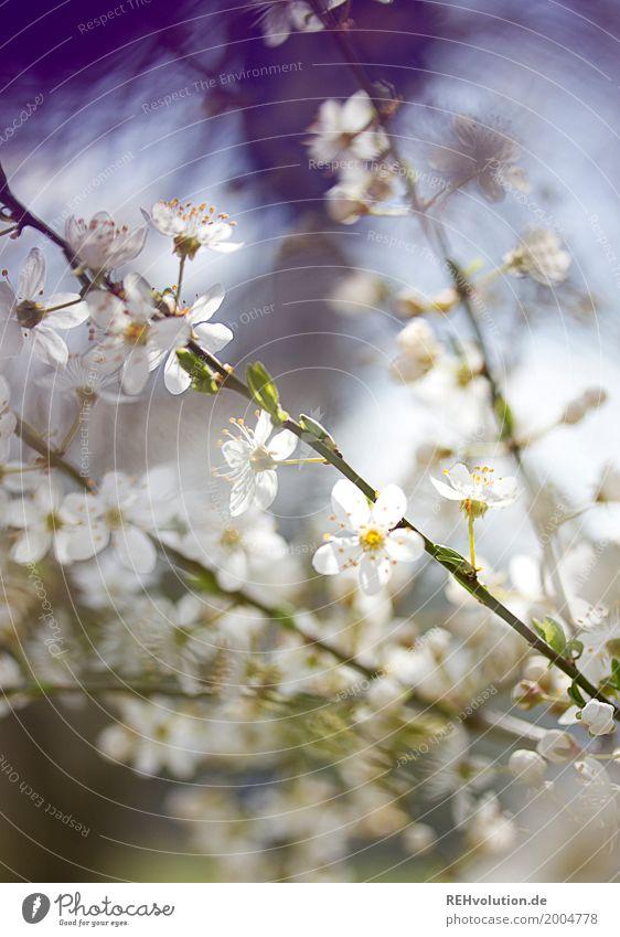 Frühlingsgeblühe Umwelt Natur Pflanze Sonne Schönes Wetter Baum Sträucher Blüte Blühend Wachstum ästhetisch Duft natürlich schön weiß Zweige u. Äste violett